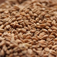 Pale Wheat (red) 1-LB, Avangard German